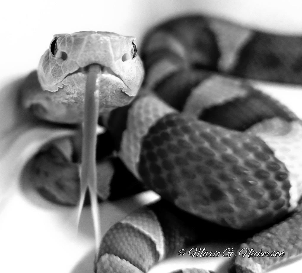 Black and white photo of snake
