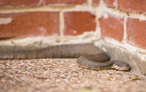 Snake slithering along a wall